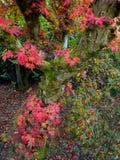 Japanischer Ahorn u. x28; Acer-palmatum& x29; Stockbild