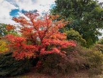 Japanischer Ahorn u. x28; Acer-palmatum& x29; Lizenzfreie Stockfotografie