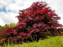 Japanischer Ahorn u. x28; Acer-palmatum& x29; Lizenzfreie Stockfotos