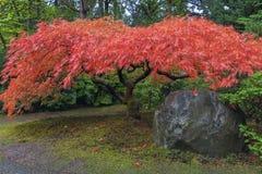 Japanischer Ahornbaum durch Felsen im Herbst Stockbild