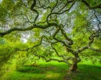 Japanischer Ahornbaum in Princeton New-Jersey Stockbild