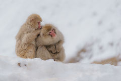 Japanischer badender Affe Stockbilder