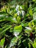 Japanischer beschmutzter Lorbeer, aucuba japonica 1 lizenzfreie stockfotografie