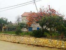 Japanischer Diospyroskakipflaumenbaum-Apfelbaum lizenzfreies stockfoto