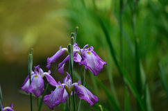 Japanischer Garten im Frühjahr, blühende Iris Kyoto Japan Lizenzfreie Stockfotografie