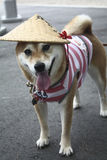 Japanischer Hund Lizenzfreies Stockfoto