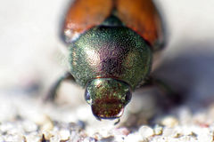 Japanischer Käfer lizenzfreie stockbilder