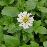 Japanischer Käfer auf einer Zinna-Blume stockfotos