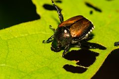 Japanischer Käfer, der ein Blatt im Garten skelettiert Lizenzfreies Stockfoto