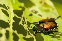 Japanischer Käfer, der ein Blatt im Garten skelettiert Lizenzfreies Stockbild