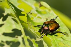 Japanischer Käfer, der ein Blatt im Garten skelettiert Lizenzfreie Stockbilder