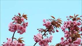 Japanischer Kirschbaum blüht im Frühjahr stock video footage