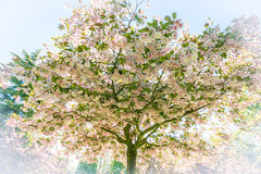 Japanischer Kirschbaum mit Blumen Lizenzfreie Stockfotografie