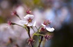Japanischer Kirschblütenbaum im Garten stockbild