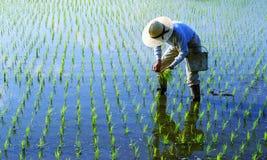 Japanischer Landwirt-Tending The Rice-Paddy Stockfoto