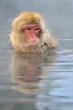Japanischer Macaque stockfotografie