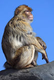 Japanischer Macaque Lizenzfreies Stockfoto