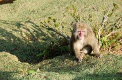 Japanischer Macaque, der aus den Grund sitzt Stockbilder