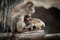 Japanischer Macaque, Macaca fuscata lizenzfreies stockbild