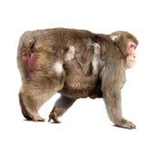 Japanischer Macaque mit Jungem. Getrennt über Weiß Stockbild