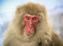 Japanischer Makaken Lizenzfreie Stockfotografie