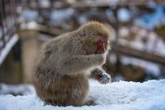 Japanischer Makaken-Affe isst Schnee lizenzfreie stockbilder