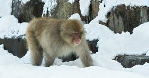 Japanischer Makaken auf dem Schnee stockbild