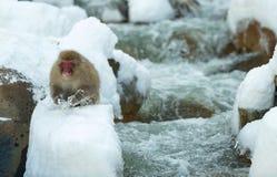 Japanischer Makaken auf dem Schnee lizenzfreie stockfotos
