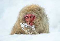 Japanischer Makaken auf dem Schnee Stunden und Landschaft Der wissenschaftliche Name des japanischen Makakens: Macaca fuscata, al lizenzfreie stockfotos