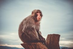 Japanischer Makaken auf einem Stamm, Iwatayama-Affepark, Kyoto, Japan Lizenzfreies Stockfoto