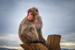 Japanischer Makaken auf einem Stamm, Iwatayama-Affepark, Kyoto, Japan Stockfotografie