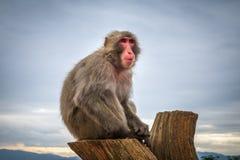 Japanischer Makaken auf einem Stamm, Iwatayama-Affepark, Kyoto, Japan Lizenzfreies Stockbild