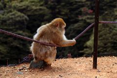 Japanischer Makaken, der auf einem Zaun stillsteht lizenzfreie stockbilder