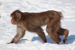 Japanischer Makaken, der auf kalten weißen Schnee geht Stockbilder