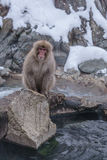 Japanischer Makaken, der in heiße Quellen badet, Stockbilder