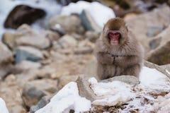Japanischer Makaken, der in heiße Quellen badet, Stockbild