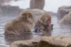 Japanischer Makaken, der in heiße Quellen badet, Lizenzfreies Stockbild