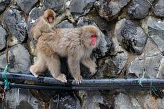 Japanischer Makaken des Affen, Macaca fuscata, springend über den Fluss, Hokkaido, Japan Verschneiter Winter in Asien Lustige Na stockfotografie