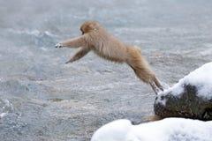 Japanischer Makaken des Affen, Macaca fuscata, springend über den Fluss, Hokkaido, Japan Verschneiter Winter in Asien Lustige Na lizenzfreie stockfotografie