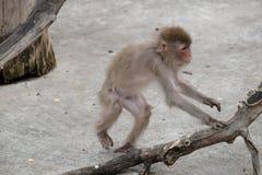 Japanischer Makaken des Babys flieht in den Stamm des Baums Stockfotografie