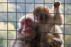 Japanischer Makaken - Erwachsener mit Baby stockfoto
