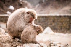 Japanischer Makaken mit Baby Stockbilder