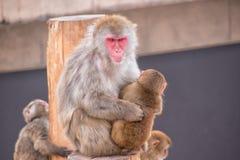 Japanischer Makakenschneeaffe und ihr Baby Stockbild