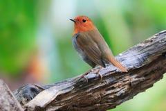 Japanischer Robin (Luscinia akahige) Stockbild