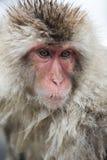 Japanischer Schnee-Affe Stockfotos