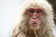 Japanischer Schnee-Affe Lizenzfreies Stockfoto