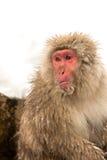 Japanischer Schnee-Affe Lizenzfreie Stockfotos