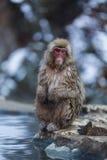 Japanischer Schnee-Affe im wilden Lizenzfreie Stockfotos