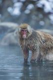 Japanischer Schnee-Affe im wilden Lizenzfreie Stockbilder