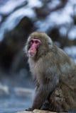 Japanischer Schnee-Affe im wilden Stockfotografie